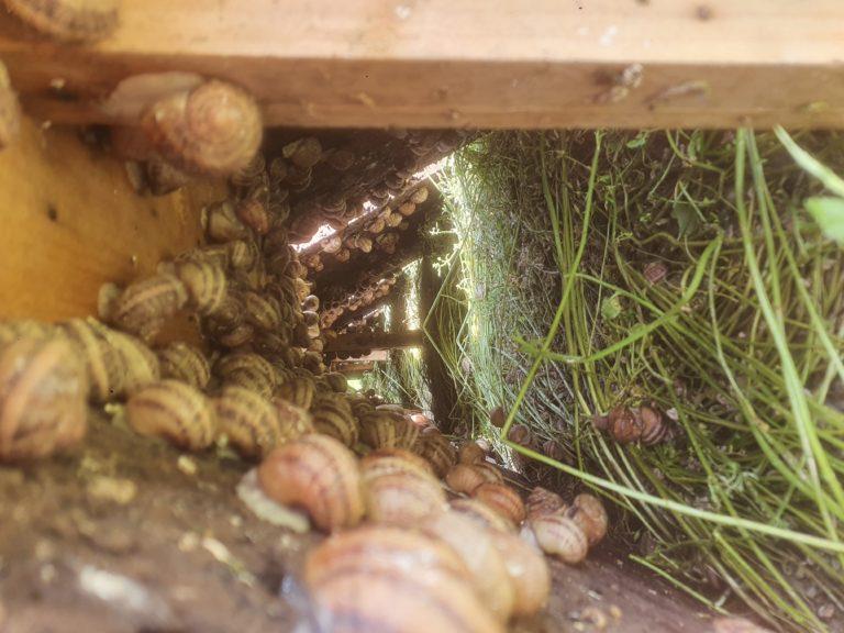 Escargots sous liege 1