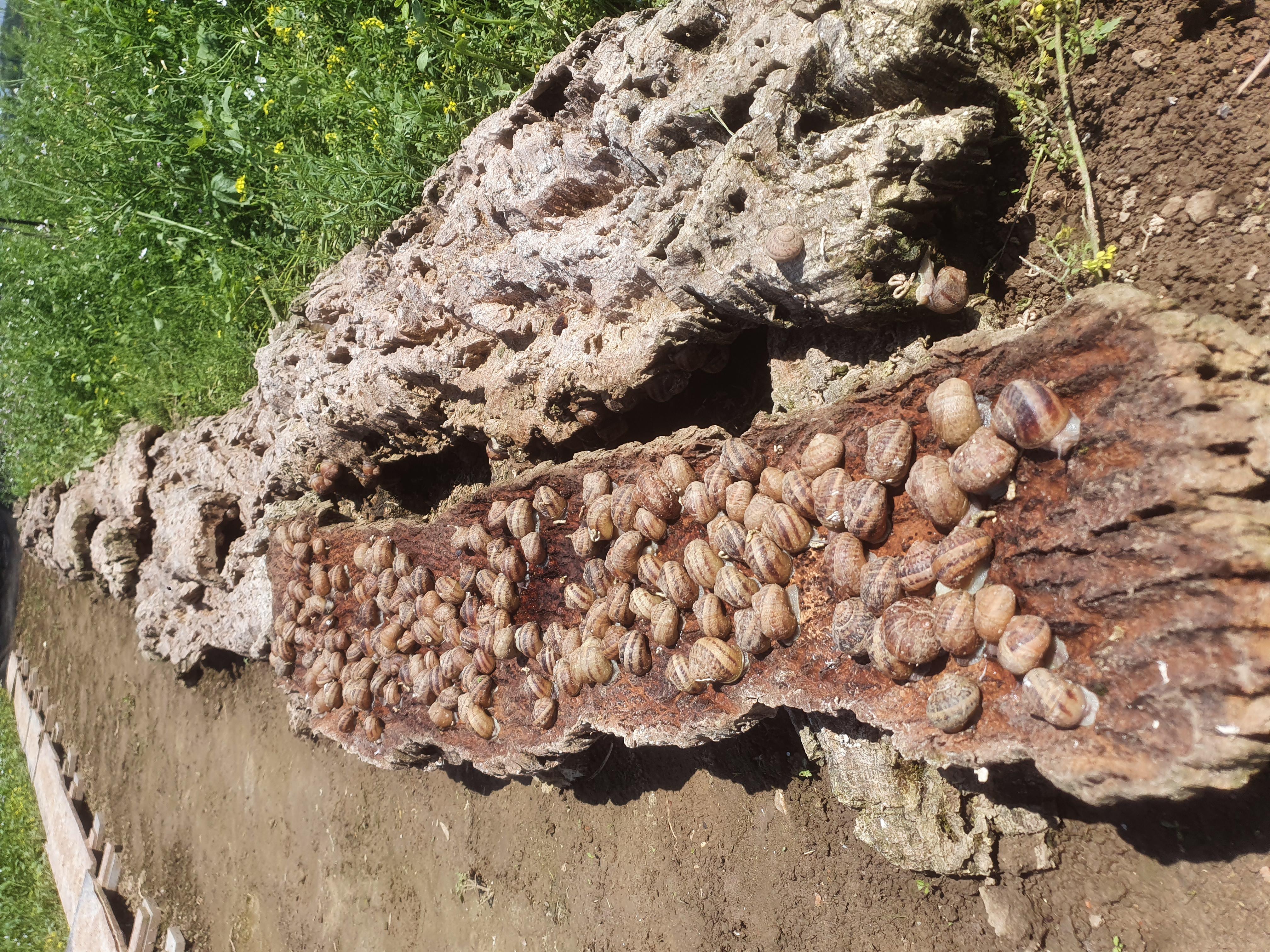 Escargots sous liege 2